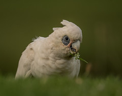 Corella (m&em2009) Tags: corella bird parrot australia nature grass white green beak eye feather fauna nikon d810