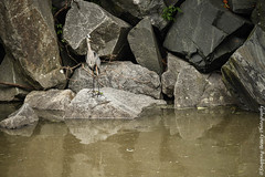 Heron on the River Bank (Snapping Beauty) Tags: 2018 years tranquility waterfront nature water abstract rural nopeople textures peace riverbank beautyinnature river stone photography natural naturewildlife animals virginia horizontal places bird