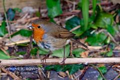 Robin-Garden-0674-1 (daboose) Tags: robin garden feeding uk