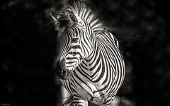 Black & White - 6580 (ΨᗩSᗰIᘉᗴ HᗴᘉS +50 000 000 thx) Tags: blackandwhite bn nb bw monochrome nature zèbre crazytuesdaytheme zebra belgium europa aaa namuroise look photo friends be yasminehens interest eu fr party greatphotographers lanamuroise flickering crazytuesday