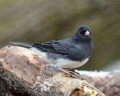 DSC_8916.jpg=011319 (laurie.mccarty) Tags: bird animal nature wildlife darkeyedjunco junco bokeh winter wood