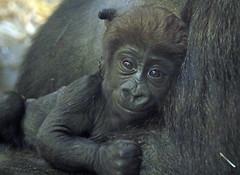 western lowlandgorilla Damsi Artis 094A0860 (j.a.kok) Tags: animal artis africa afrika aap ape gorilla westelijkelaaglandgorilla westernlowlandgorilla lowlandgorilla laaglandgorilla mammal monkey mensaap motherandchild moederenkind zoogdier dier primate primaat dafina damsi
