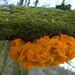 Bevroren Gele trilzwam (capreolus) Tags: geletrilzwam yellowbrain witchesbutter tremellamesenterica fungi oak