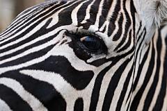 South Africa 9/35 (franziska.bro) Tags: animal natur nature africa swaziland zebra wildlife