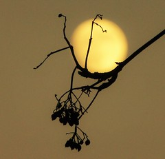Resting Moon..x (Lisa@Lethen) Tags: moon branch silhouette nature weather winter