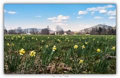 Pb_3290122 (calpha19) Tags: imagesvoyagesphotography adobephotoshoplightroom olympusomdem1mkii zuiko ed1260swd mars 2019 flore flowers fleurs jonquille anémone printemps landscapes paysages grangessurvologne grandest vosges ngc flickrsexplore