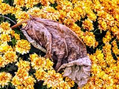 Fallen Leaf (pmorris73) Tags: arboretum pennstateuniversity statecollege pennsylvania century 2ca1719 3ca1819 4ca1819 5ca1919 6ca2019 7ca2419 8ca3119 9cb2319 1kb2619