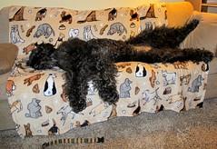 """Paparazzi Mom strikes again!""  by Benni Girl (Bennilover) Tags: sleeping dog dogs couch sofa night dark light bright camera click paparazzi benni labradoodle complaint bennigirl"