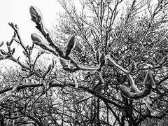 frosted over (jojoannabanana) Tags: 3652019 blackandwhite branches closeup details dof frozen ice monochrome nature panasoniclumix winter
