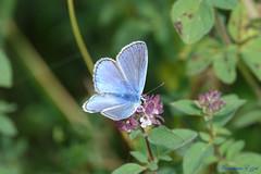 Argus bleu mâle (1) (Ezzo33) Tags: argusbleu azurécommun polyommatusicarus france gironde nouvelleaquitaine bordeaux ezzo33 nammour ezzat sony rx10m3 parc jardin papillon papillons butterfly butterflies specanimal bleu bleue