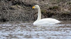 Whooper Swan, Vantaa, Vantaanjoki (pix-spotting) Tags: whooperswan swan bird migration spring spirngmigration migratorybird vantaa vantaanjoki finland guard guardian feeding resting