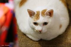 _01A2565 (Dream Delivered (Dreamer.Thanks for +6.000.000 vi) Tags: cat portrait