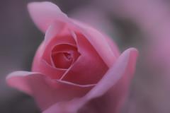 romantique (christophe.laigle) Tags: rose christophelaigle fleur macro nature flower fuji vaporeuse xpro2 xf60mm pink