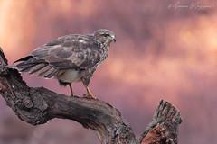 """Last light"" (Simone Mazzoccoli) Tags: nature wild wildlife buzzard buteobuteo light background colors winter poiana bird birds birdwatchin raptor"