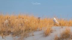 Snowy Owls of New Jersey | 2018 - 53 (RGL_Photography) Tags: beachowl birding birds birdsofprey birdwatching buboscandiacus ibsp islandbeachstatepark jerseyshore mothernature nature newjersey nikonafs600mmf4gedvr nikond5 oceancounty ornithology owls raptors snowyowl snowys us unitedstates wildlife wildlifephotography ©2018rglphotography