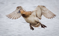 Canvasback Hen landing (tresed47) Tags: 2019 201901jan 20190114marylandbirdsbb birds cambridge canon7d canvasbackduck content ducks folder january maryland peterscamera petersphotos places season takenby us winter