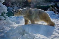 snow day (ucumari photography) Tags: ucumariphotography polarbear ursusmaritimus oso bear animal mammal nc north carolina zoo osopolar ourspolaire oursblanc eisbär ísbjörn orsopolare полярныймедведь anana nikita february 2019 dsc6563 specanimal specanimalphotooftheday