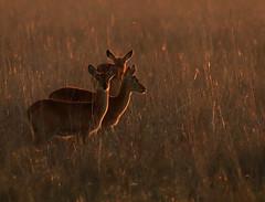 Pukus at sunrise - Kafue National Park – Zambia (lotusblancphotography) Tags: africa afrique zambia zambie nature faune wildlife animal puku sunrise safari