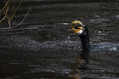 comb over (mond.raymond1904) Tags: cormorant dublin dodder fish trout gulp mouth