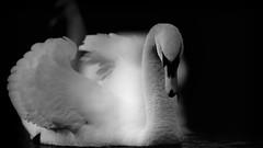 'Macbeth' (Jonathan Casey) Tags: swan black white monochrome low angle nikon d850 400mm f28 vr norfolk broads whitlingham