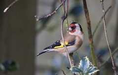 Goldfinch (ndall) Tags: goldfinch birds