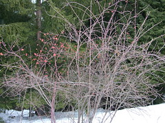 Rose Hips (Romi Corte) Tags: excursion winter snow cold trees wood