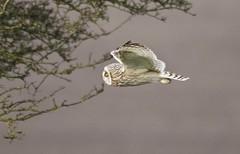 Short-eared Owl (Alan McCluskie) Tags: owl owls owlinflight shortearedowl seo birdofprey bop bif predator birds nature wildlife ridgeway wiltshire swindon asioflammeus handheld