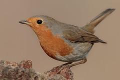 Pettirosso (Marcello Giardinazzo) Tags: robin pettirosso avifauna natura birds uccelli