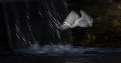 Egret with waterfall (Ann and Chris) Tags: egret water waterfall blur nature wildlife flying slowshutter experiment
