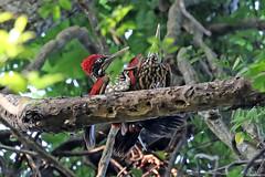 Crimson-backed Flameback - Chrysocolaptes stricklandi (Roger Wasley) Tags: crimsonbacked flameback chrysocolaptes stricklandi sigiriya wild bird srilanka asia woodpecker greater endemic specanimal