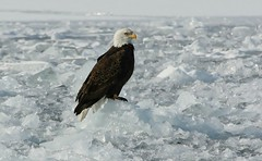 My First Bald Eagle On Ice!!!! (bearbear leggo) Tags: baldeagle raptor wildlife photography hunter ice frozen lake karenleggo kingston mark2 canon