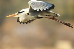 Flying (Teruhide Tomori) Tags: nature bird wild kyoto japan japon hirosawanoike pond winter animal greyheron アオサギ 野鳥 広沢池 京都 冬 鳥 動物 野生 日本