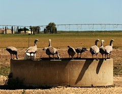 So THAT'S why the farmer put the tank there! Cape Barren Geese, Fleurieu Peninsula, South Australia (Red Nomad OZ) Tags: bird wildlife australia southaustralia nature natural outdoor capebarrengoose farming agriculture tank paddock pasture field geese fleurieupeninsula sky animal farm rural