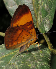 Emesis adelpha (Over 5 million views!) Tags: butterfly emesisadelpha peru riodinidae butterflies insect