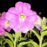 Petunia... thumbnail