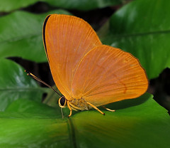 Euselasia gelanor (Over 5 million views!) Tags: butterfly euselasiagelanor peru riodinidae butterflies insect