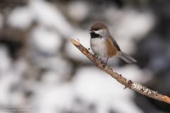 Mésange à tête brune / Boreal Chickadee (Pierre Lemieux) Tags: borealchickadee québec canada can forêtmontmorency mésangeàtêtebrune hiver neige snow winter