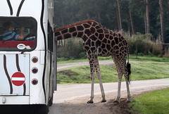"""Is this the Bus to the Serengeti?"" (HWHawerkamp) Tags: humour giraffe animal animals wildlife wild safari africa zoo park green trees bus window neck visitors tourist humor"