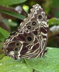 Morpho deidamia (hippobosca) Tags: insect lepidoptera butterfly peru macro morphodeidamia nymphalidae