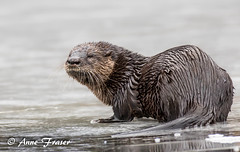 River Otter (Anne Marie Fraser) Tags: animal water ice otter riverotter wildlife nature pond winter fishing cute