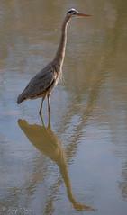 FM5A0341 (Kemp Davis) Tags: wildlife nature aquaticbird greatblueheron