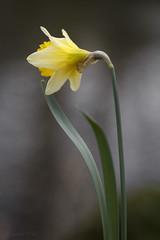 Wanderlust (shawn~white) Tags: 100mm canon6d ef100mmf28macro narcissus bokeh daffodil demure dreamy elegance enchanting floral flower harmonious melancholy primelens purity serene serenity solitude spring tranquil â©shawnwhite