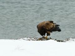 P1040399 (rpealit) Tags: scenery wildlife nature edwin b forsythe national refuge brigantine immature bald eagle bird