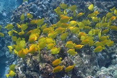 yellow tang: Zebrasoma flavescens (kris.bruland) Tags: yellowtangzebrasomaflavescens acanthuridae zebrasomaflavescens twostep yellowtang tang surgeonfish lauipala honaunau puuhonuaohonaunaunationalhistoricalpark placeofrefuge cityofrefuge southkona captaincook kealakekuabay kona westhawaii hawaiicounty bigisland coral hawaii hawaiian creature reef pacific ocean scuba sea snorkel underwater snorkeling tropical dive diver diving ecology ecosystem environment environmental fish krisbruland ichthyology ichthyologist island islands marine nature organism outdoor saltwater science undersea vertebrate water zoology life sandwich animal aquatic biology