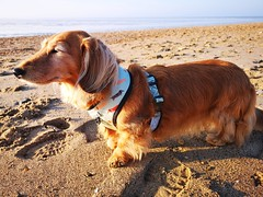 Cookie on the beach in Norfolk (35mmMan) Tags: cookie mini miniature dachshund longhaired shaed red beach norfolk sunny walk walkies huaweip20pro
