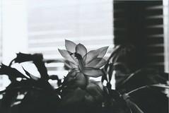 (Yosushie) Tags: canon canonal1 blackandwhite bw noiretblanc analog film flower inside windows light 50mm