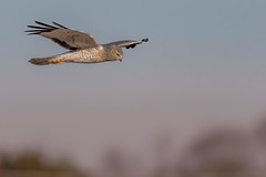 Gray Ghost (Kevin E Fox) Tags: grayghost northernharrier male bird birding birdwatching birds birdofprey birdphotography birdinflight sunset sun adobe lightroom raw sigma150600sport sigma nature nikond500 nikon raptor