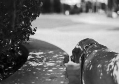 Speckled Dog (PositiveAboutNegatives) Tags: leica slr leicaflex leicaflexsl leitz 50mmsummicron leicar dog lab labrador yellowlab film analog bw blackandwhitefilm foma fomapan fomapan100 rodinal coolscan light shadows