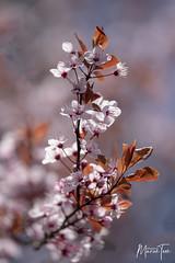spring blossoms (maar73) Tags: maar73 spring lente bloesem flower bloem blossom nikond7500 sigma180mmf28exdgosapohsmmacro