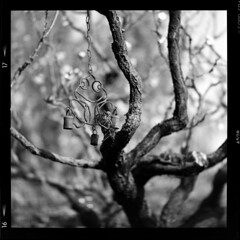 Apricot in spring (TPStearns) Tags: film hasselblad553elx 180mm square monochrome blackandwhite mediumformat 120 fp4